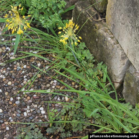 Fragrant Yellow Allium