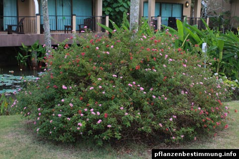 Common Lantana shrub