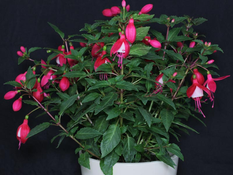 Fuchsia semi double
