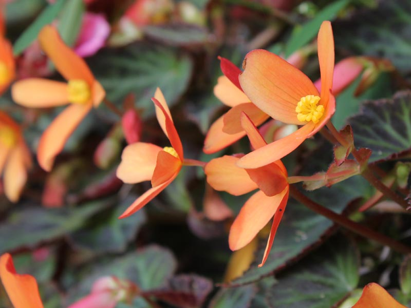 Sparks Will Fly Begonia
