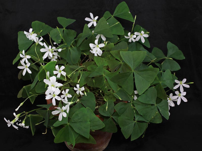 Oxalis triangularis papilionacea