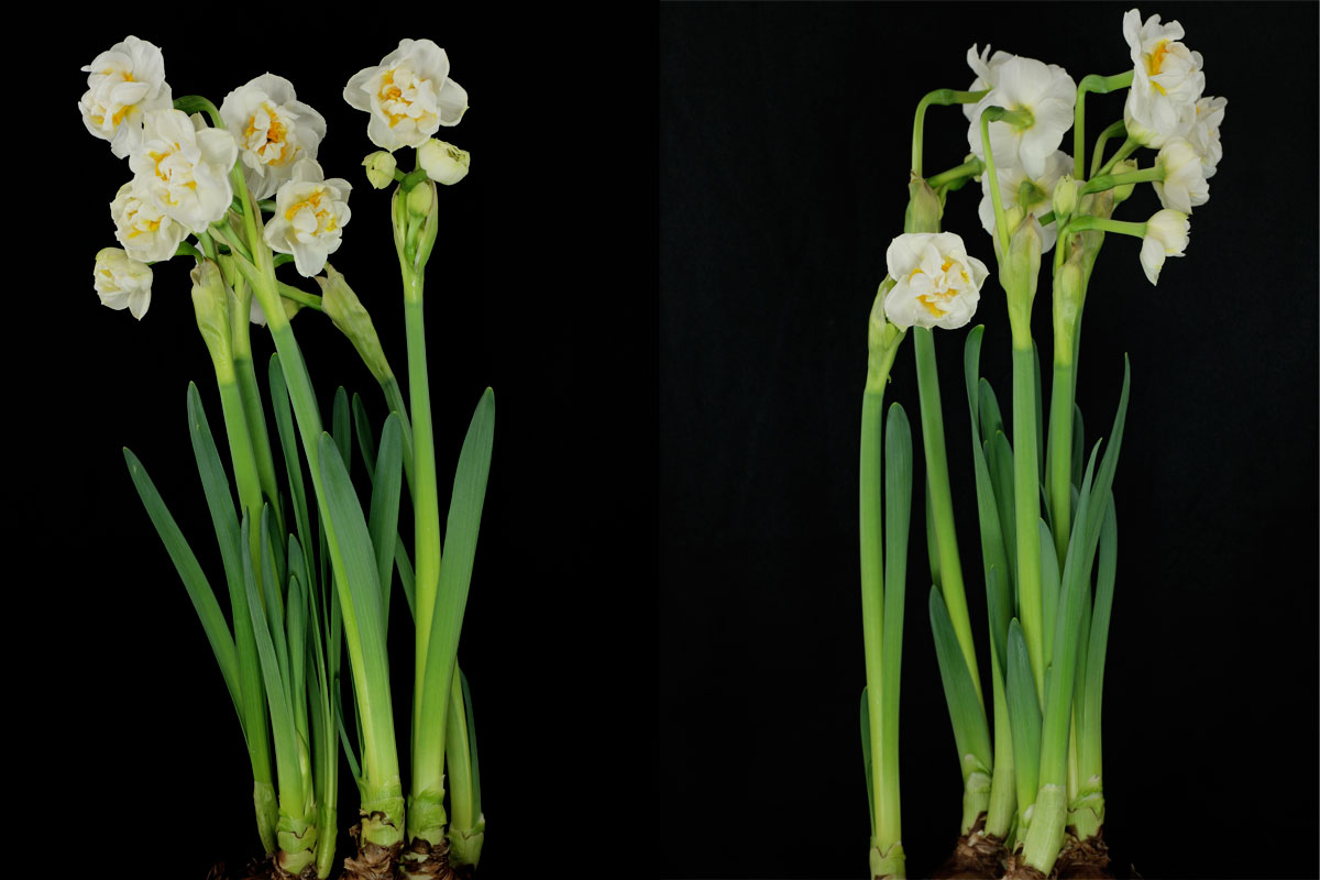 Narcissus Bridal Crown