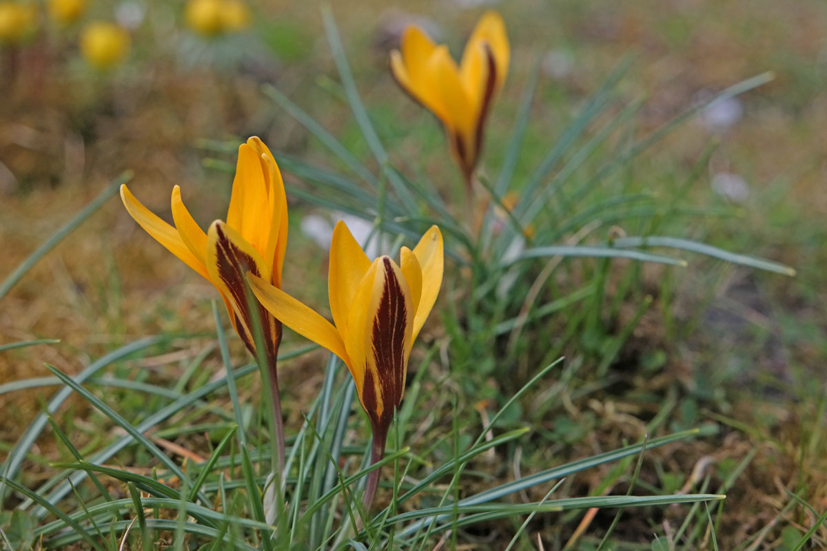 Cloth-of-Gold-Crocus