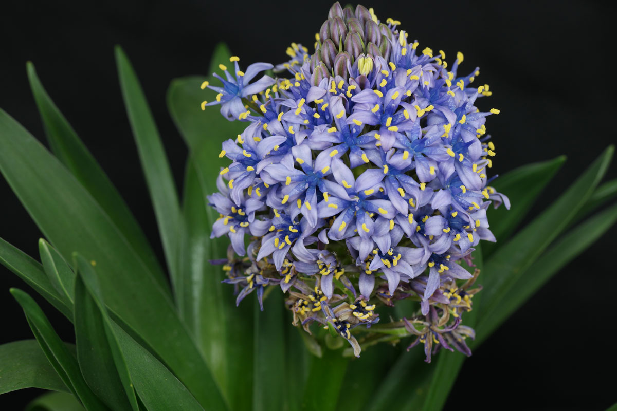 Portuguese-Squill