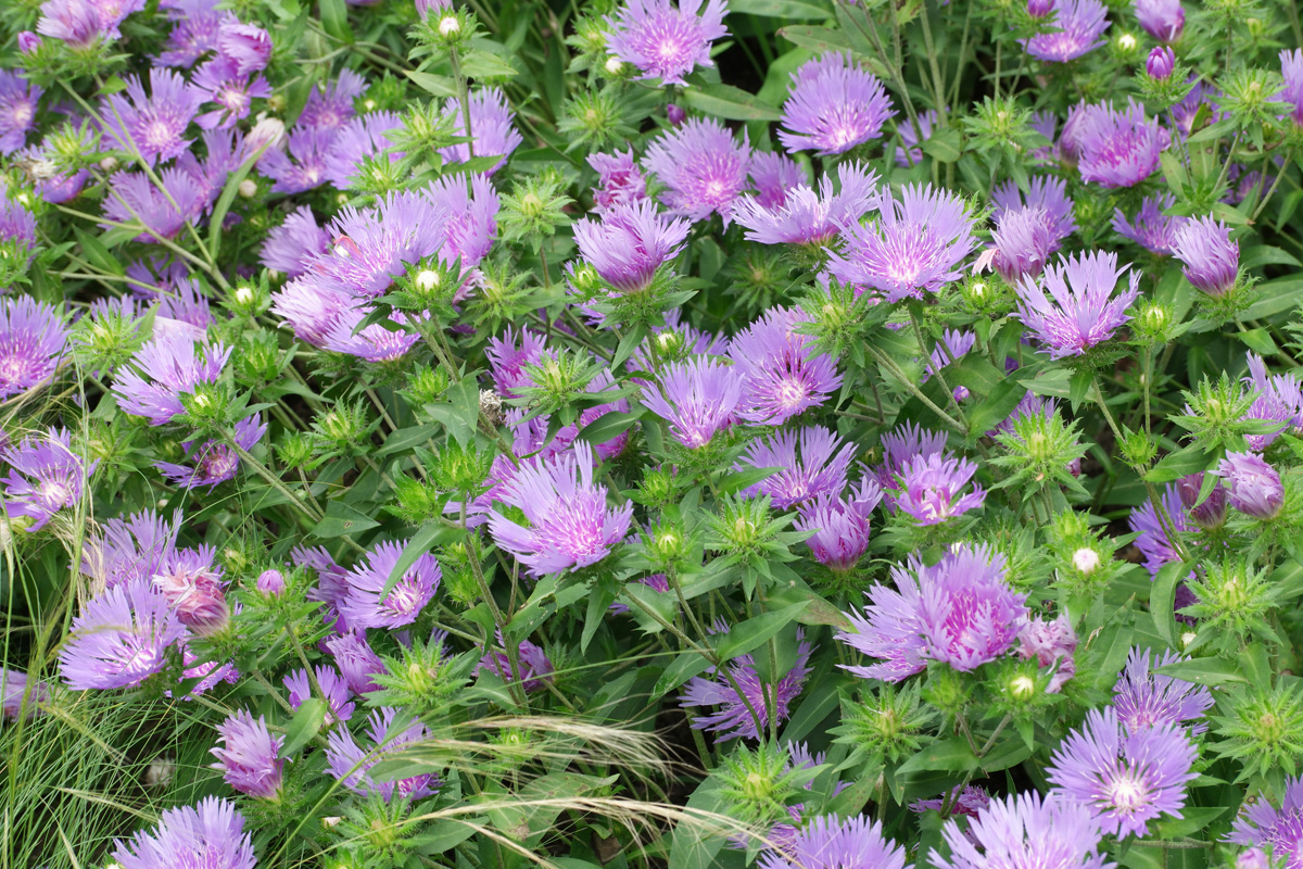 Stokesia Mels Blue