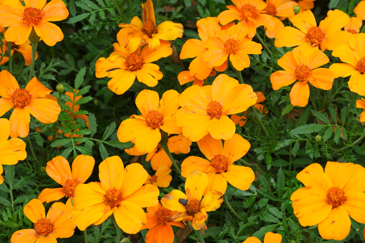 Tagetes patula Disco Orange