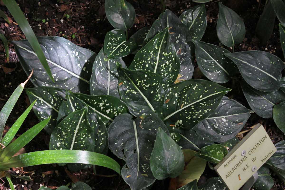 Aglaonema costatum