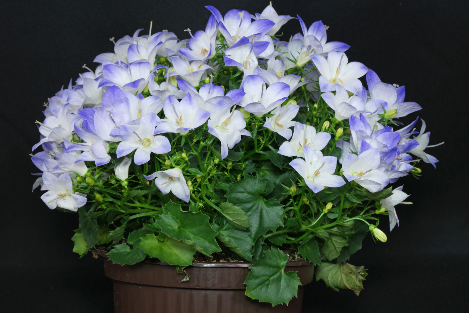 Campanula Fancy Mee