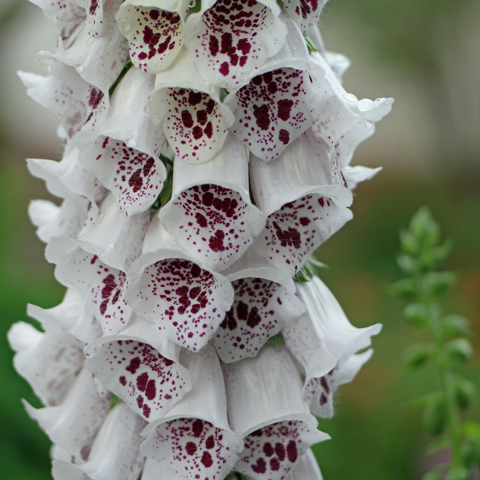 Digitalis purpurea White