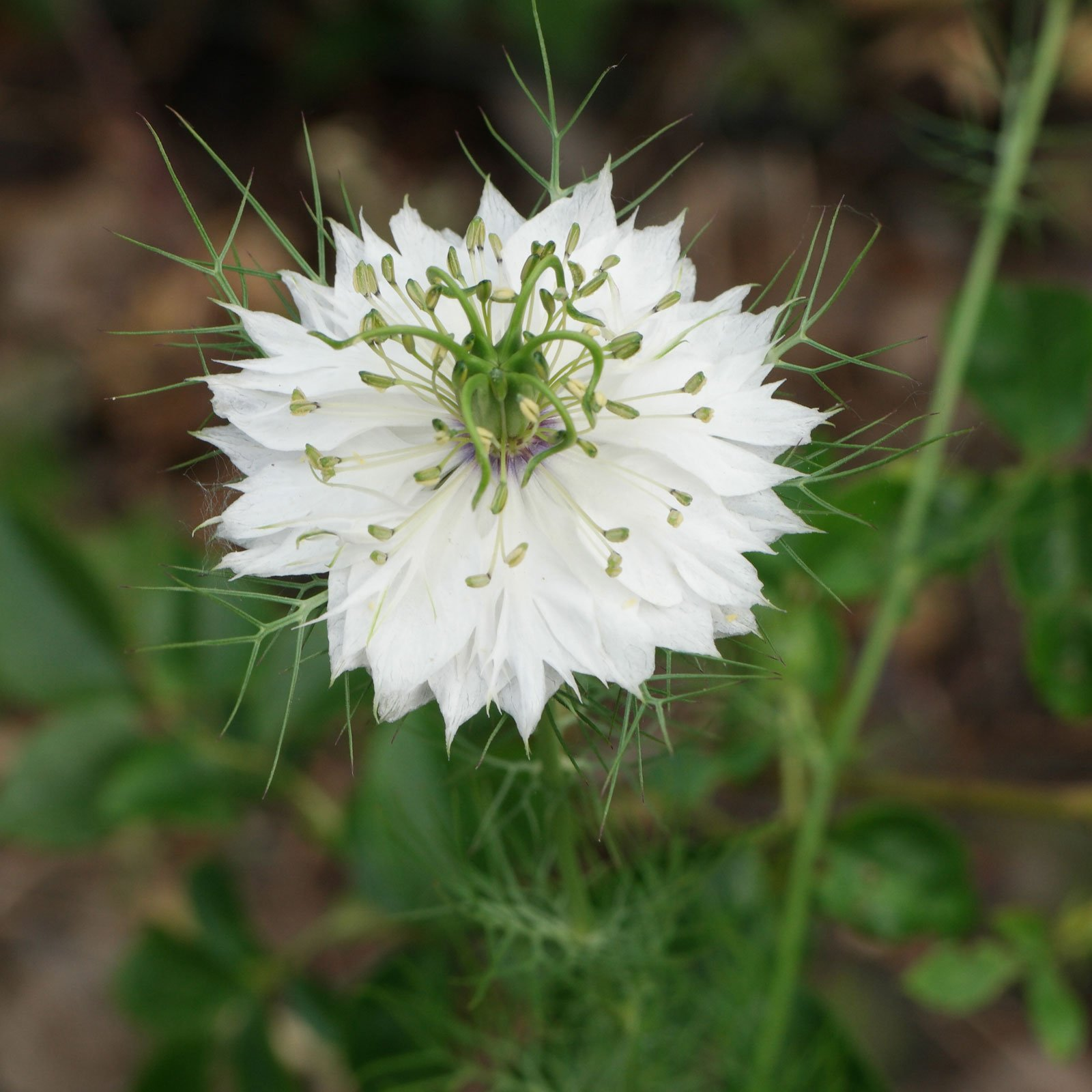 Nigella damascena cv.