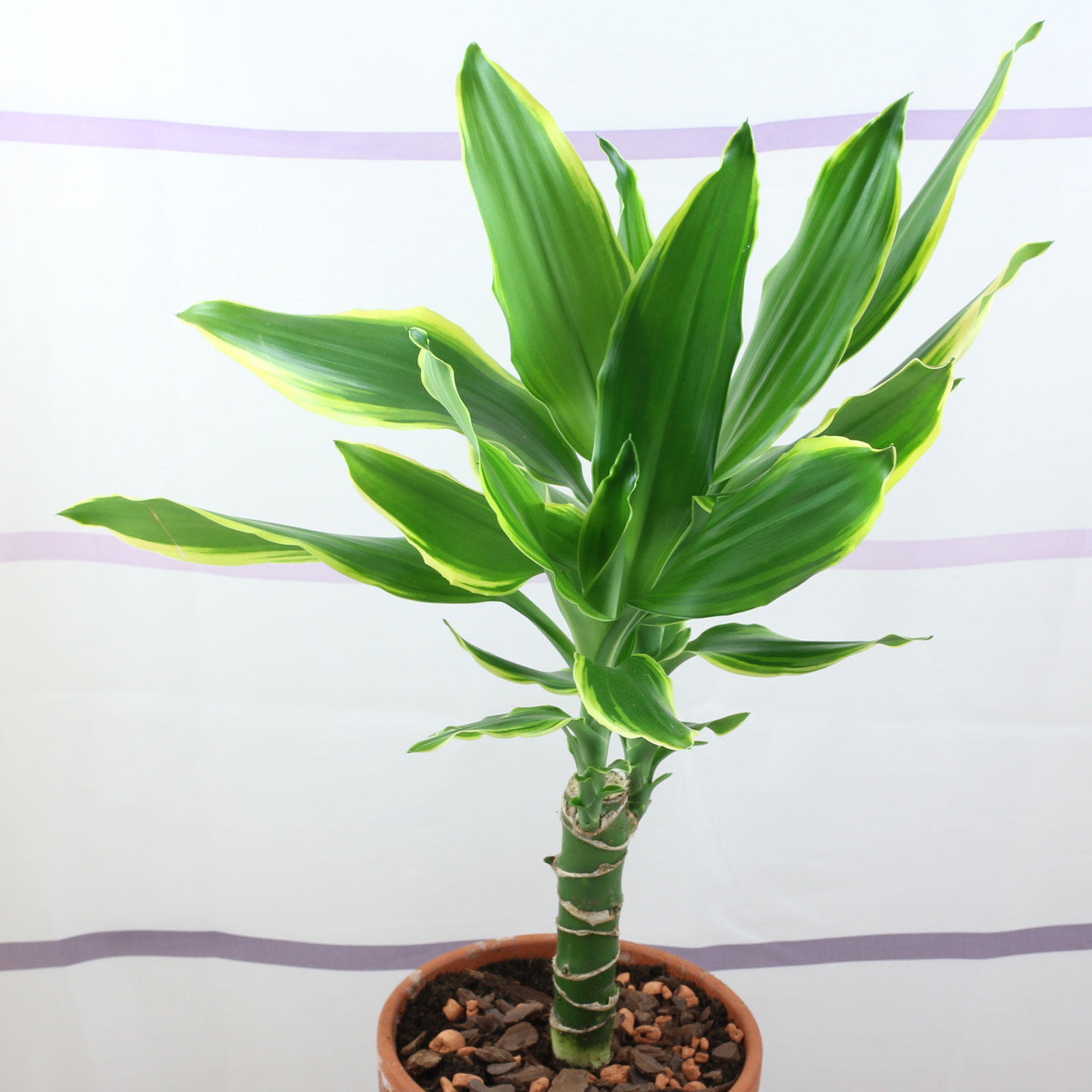 Dracaena fragrans Golden Coast