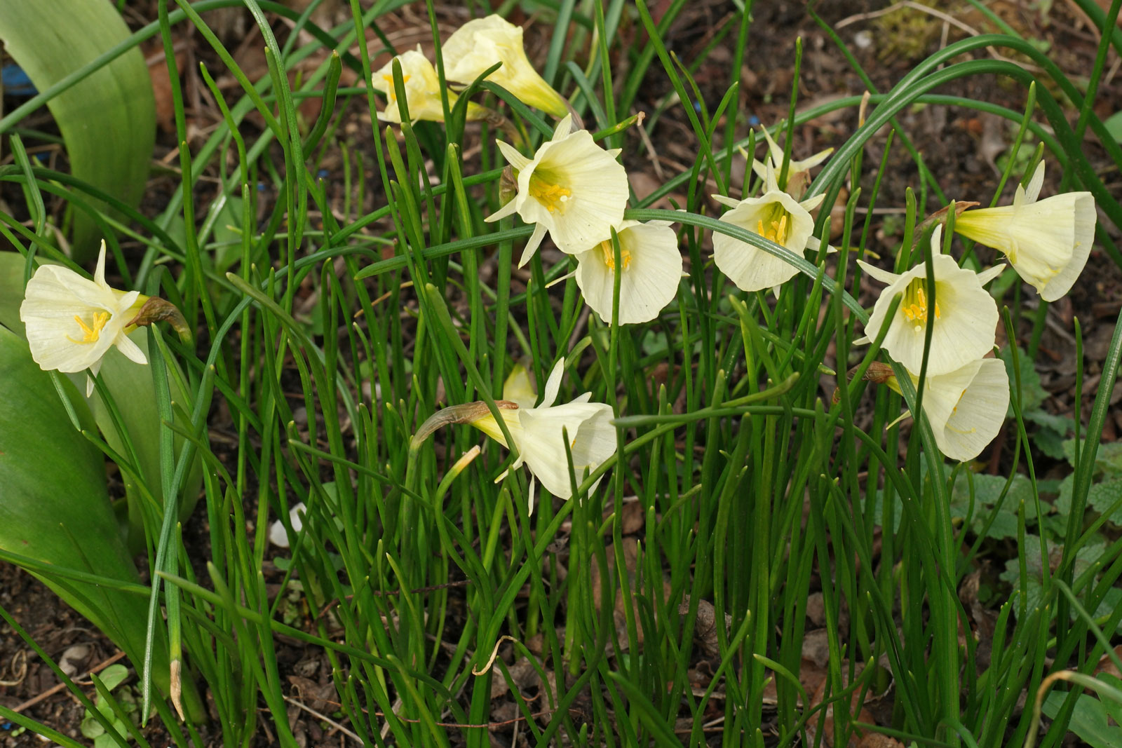 Narcissus bulbocodium Spoirot