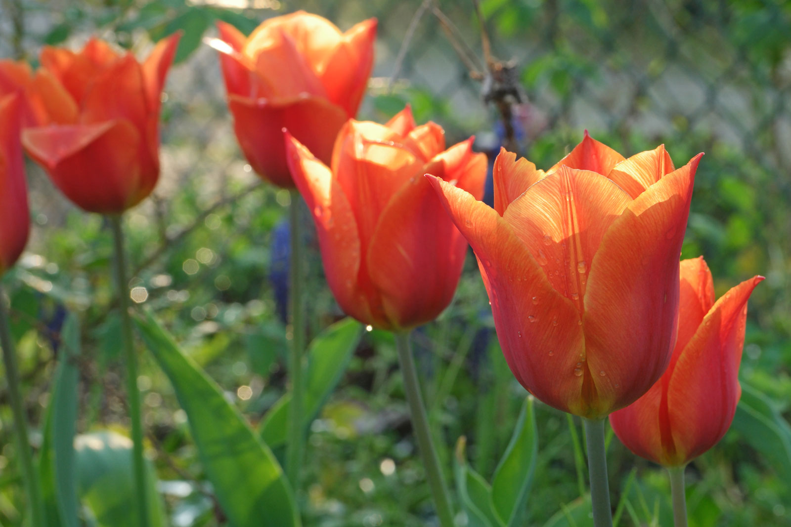 Tulipa fosteriana Orange Emperor