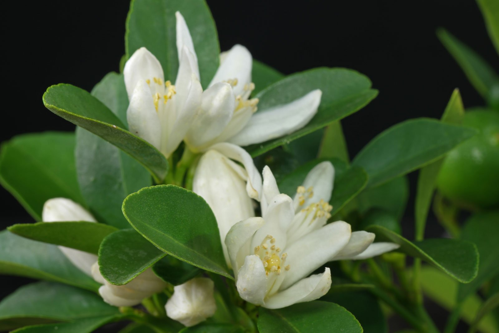× Citrofortunella microcarpa