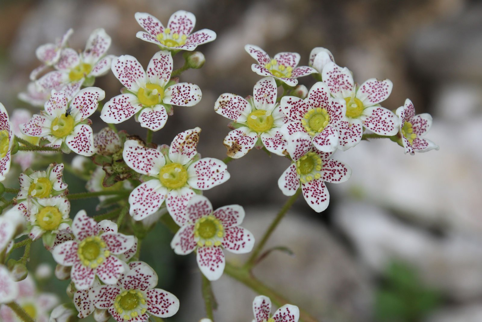 Saxifraga Spotted Dog