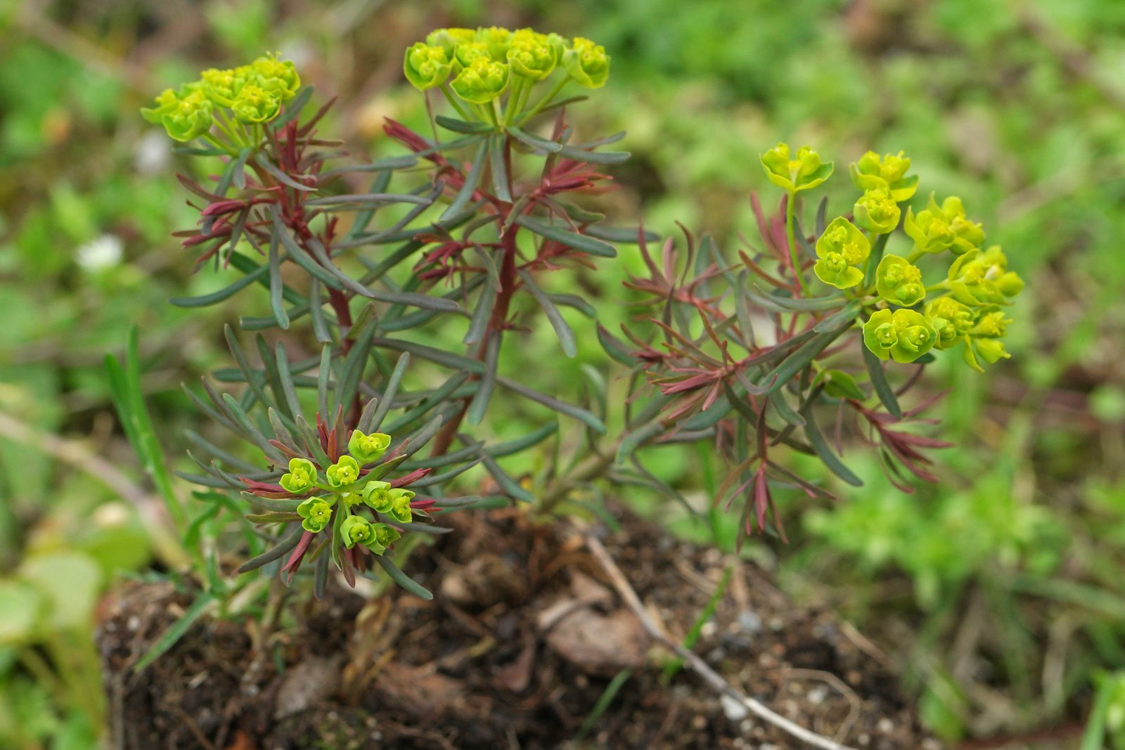Euphorbia cyparissias Rubra