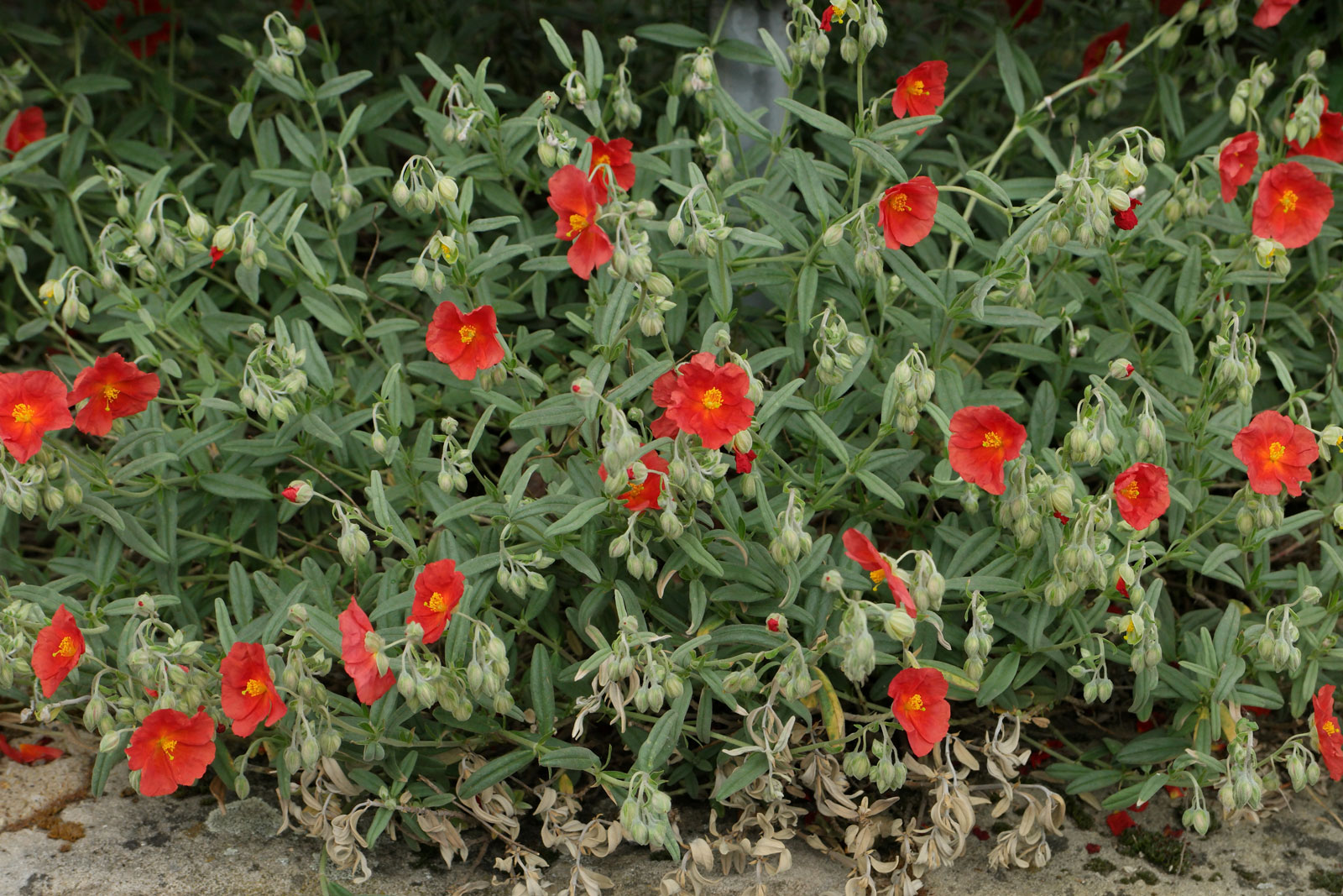 Helianthemum Henfield Brilliant